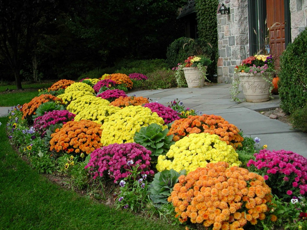 Flower garden pictures ideas - Fall Mums For Flower Garden